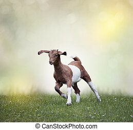 Young boer goat running on the grass