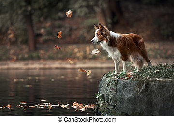young border collie dog standing on the edge of pond