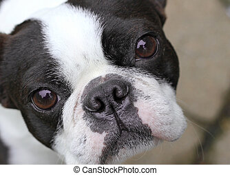 Boston Terrier - Young Boston Terrier