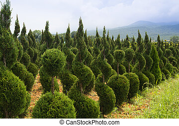 Young boxwood shrubs growing in a  nursery