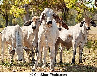 Young Brahman herd on ranch Australian beef cattle