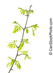 Young branch of acacia with leaves isolated on white background