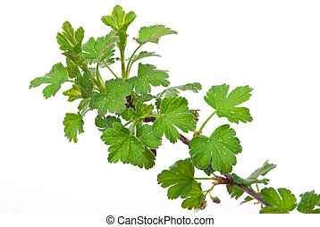 Young branches gooseberry