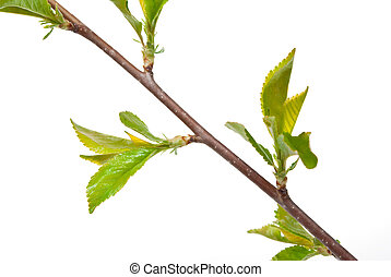 Young branches of cherry