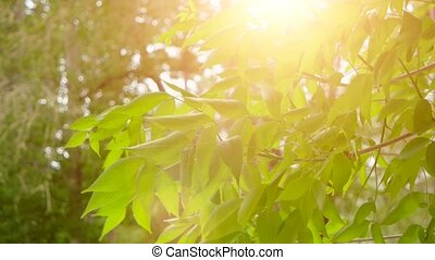 Young bright leaves in front of day sun in springtime. Leaves of tree in sunny day with sun blinking. Organic eco concept.