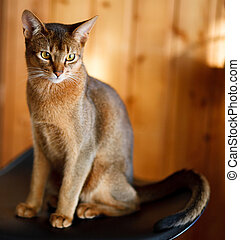 young brown Abyssinian cat on char