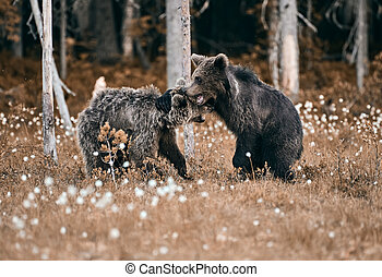 Young brown bear out of steam and resting against another bear at edge of forest in Eastern Finland on summer evening.