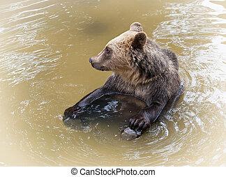 Brown bear (Ursus arctos arctos) sitting in water
