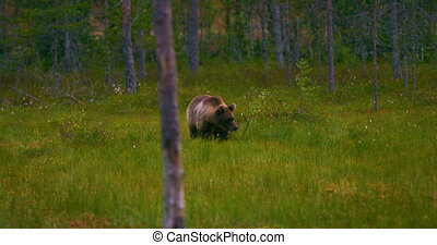 Young brown bear walking free in the forest looking for food