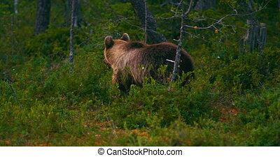 Young brown bear walking free in the forest looking for food...