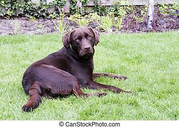 young brown labrador in green grass