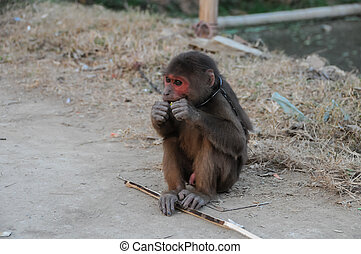 Young Brown Monkey in Chains in Vietnam