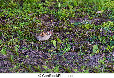 young brown sparrow looking for food on the field with grass