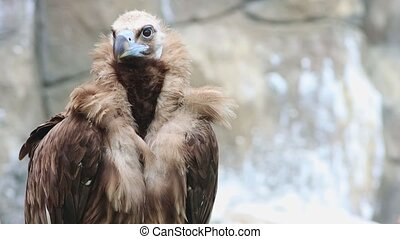 Young brown vulture standing on the grass in the nature reserve. Mid shot