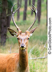 Young buck portrait