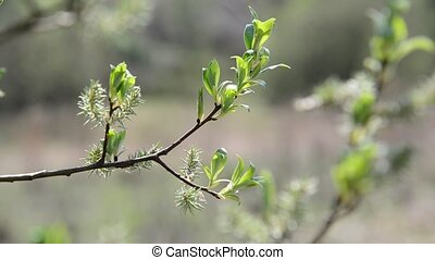 Young budding leaves on tree