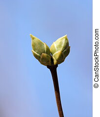 Young buds of lilac.