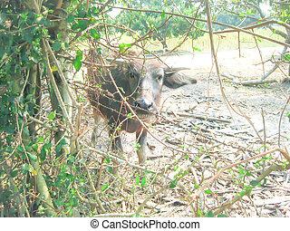 buffalo on the farm