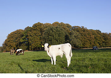 young bull calfs and cow in green meadow with cow in the background