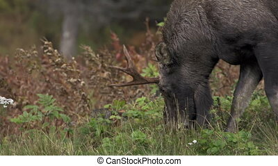 Young Bull Moose Chomping Plants - A young bull moose with...