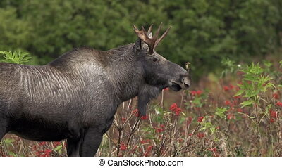 A lone bull moose, probably in his second year, hesitates briefly by some red elderberries in late September before heading off to areas with less videographers.