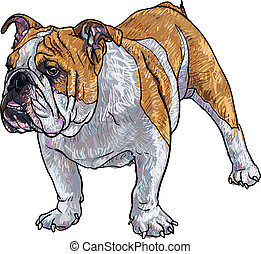 Young bulldog - Drawing of young bulldog