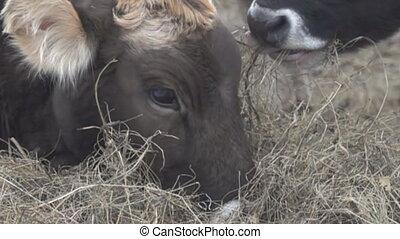 Young bulls feed on hay in the trough (hay feeding bunk)....