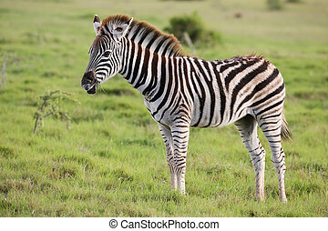 Young Burchells Zebra on the Green Grassland - Beautiful...