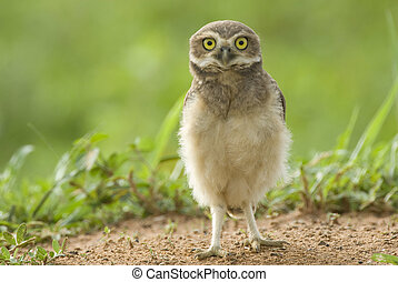 juvenile Burrowing Owl (Athene cunicularia) standing on the ground in Palmital, western Brazil, by Hal Brindley