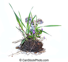 young bush pansies, violets, with flowers, piece of land and roots fresh leaf close up early spring, isolated elements on white  background for scrapbook, object, small colorful knitted toy mouse in a white scarf