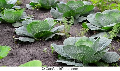 Young cabbage grows in a garden