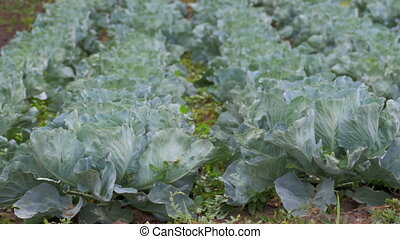 Young Cabbage Grows in the Farmer Field