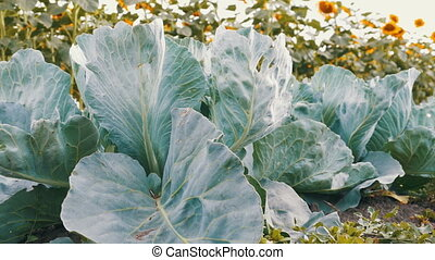 Young Cabbage Grows in the Farmer Field. Close-up. Cabbage...
