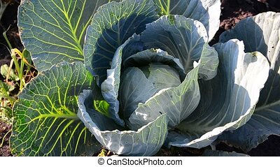 Young cabbage infested with pests - young cabbage infested...