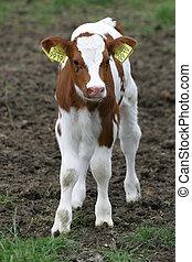 Young Calf - Calf