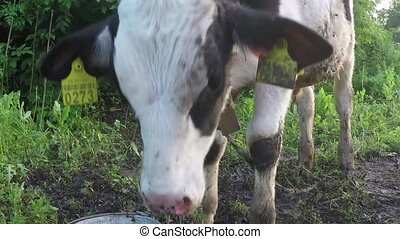 young calf drinking dirty water - woman gives to drink water...
