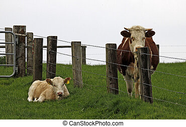 Young calf, separated by a fence