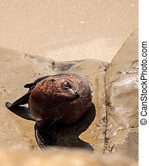 Young California sea lion Zalophus californianus pups...