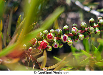 Young callistemon japanese red maple flower buds sunny summer day