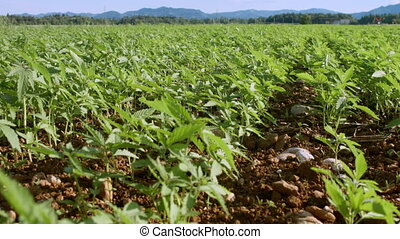 Young cannabis hemp plants growing in the farm field and moving in wind with sun shining.