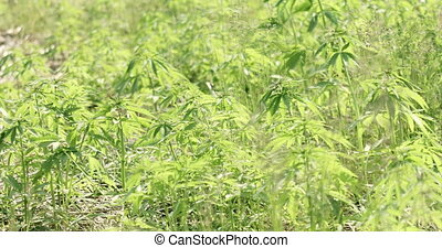 Young cannabis hemp plants growing in the farm field and moving in wind with sun shining. Slow motion, pan movement