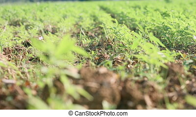 Young cannabis hemp plants growing in the farm field and moving in wind with sun shining. Slow motion, closeup