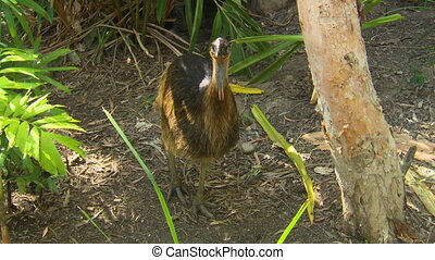 Handheld, high angle, medium close up shot of a young Cassowary in a wooded area.