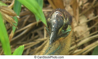 Handheld, close up shot of a young cassowary's blue face and head.