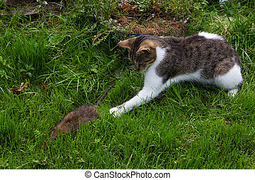 Young cat is fighting with a rat.