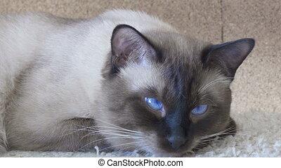 Young cat, kitten, Siam oriental group, Mekong bobtail looks...