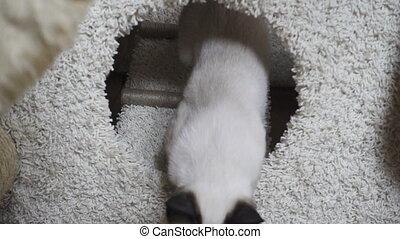 Young cat, kitten, Siam oriental group, Mekong bobtail -...