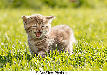 Young cat meowing in grass