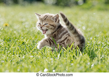 Young cat or kitten meowing in green grass