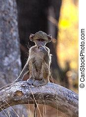 Young Chacma Baboon - Botswana
